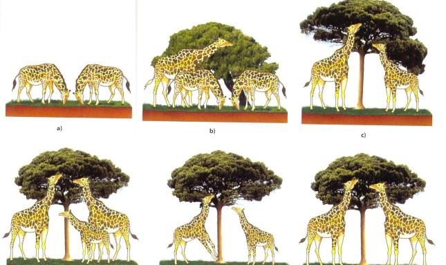 girafas_lamarck2